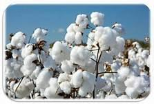 WHATS GOING WRONG IN COTTON??