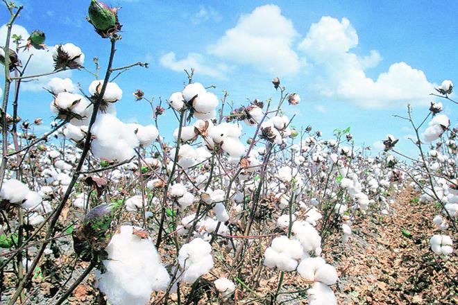 India cotton productivity at lowest in a decade: CAI.