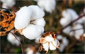 'HT cotton grown illegally in 3 states'.