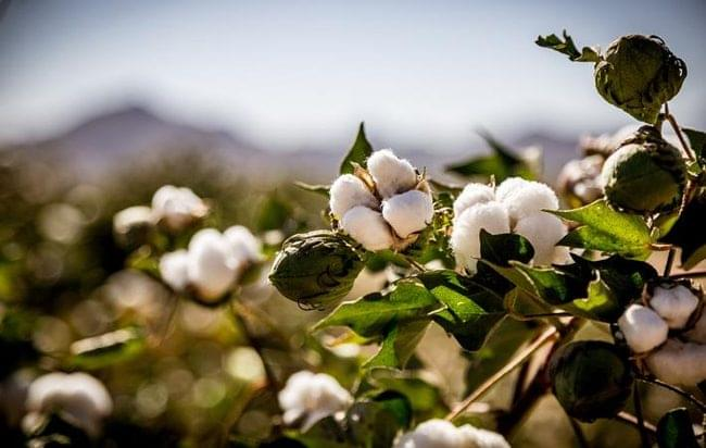 CCI prepared to enter Punjab to procure cotton after 4 yrs.
