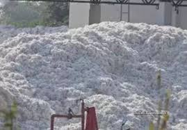 Cotton crop surge in India; yield may be higher by 15%