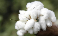 Lack of clarity on cotton crop numbers keeps trade puzzled.