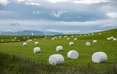 Fodder Scarcity – Silage in Plastic packaging showing the way out