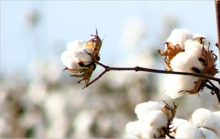 Reimbursing the losses under MSP operations for cotton during the cotton year