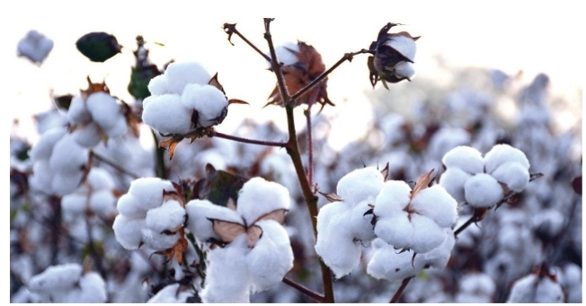 Global trade of cotton declines