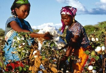 GM-free cotton preferred in Africa : Textile Exchange