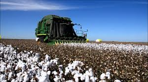 Cotton Acreage is Expected to Reduce by 15-20% This Season