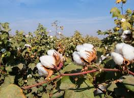 U.S. Cotton Trust Protocol and Field to Market Collaborated for Cotton Sustainability