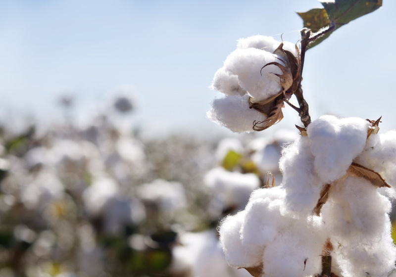 Ivory Coast's Cotton Industry Affected Due to Covid-19
