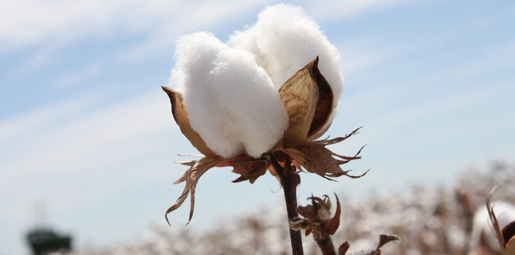 CCI Lowered Cotton Prices to Boost Sales