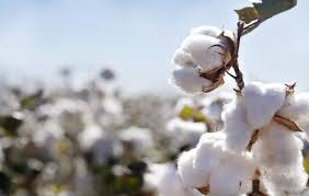 Global Cotton Mill Use Sustain Unprecedented Decline Due to Impact of COVID-19 Pandemic
