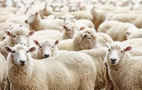 Australia: Wool Market facing a Long Road to Recovery
