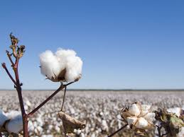 Haryana Cotton Growers Enrolled Under Govt. Schemes Need Not to Worry About Increase in Premium Rate