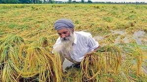 Panjab Cotton Farmers Suffering a Loss Due to Heavy Rain