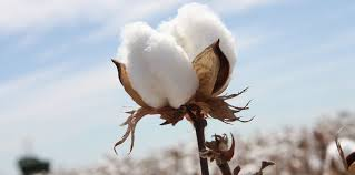 Reviving Cotton Processing Plant Encourages Farmers to Grow Cotton in Southern Afghanistan