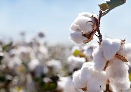 Indian Cotton Traders are Worried for Low Prices, Weak Demand and Increased Sowing