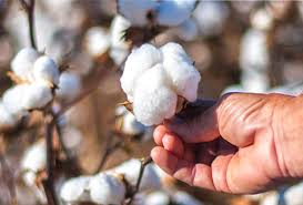 During Lockdown CCI Relived Cotton Farmers in Tamil Nadu by purchasing 40% of the Crop