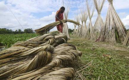 After BJMC's Shuttering Jute Farmers Begin Harvest with Wind Out of Their Sails