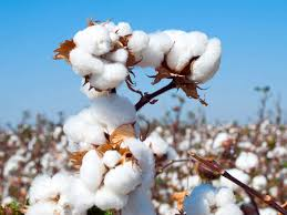 Cotton Monthly Report – November 2020