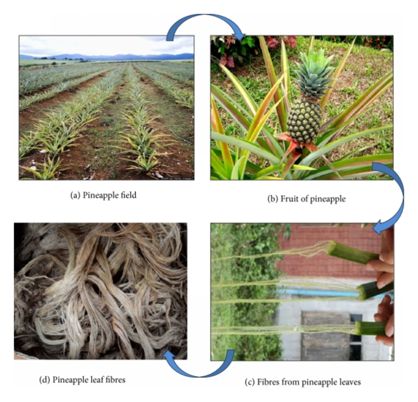 Pineapple Leaf Fibre: From Waste to Prosperity