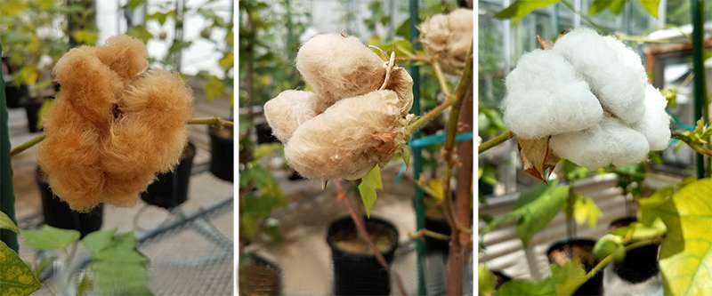 Australian Scientist Are Growing Psychedelic Cotton In The Lab