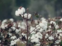 Big Cotton Industry Go Green in America