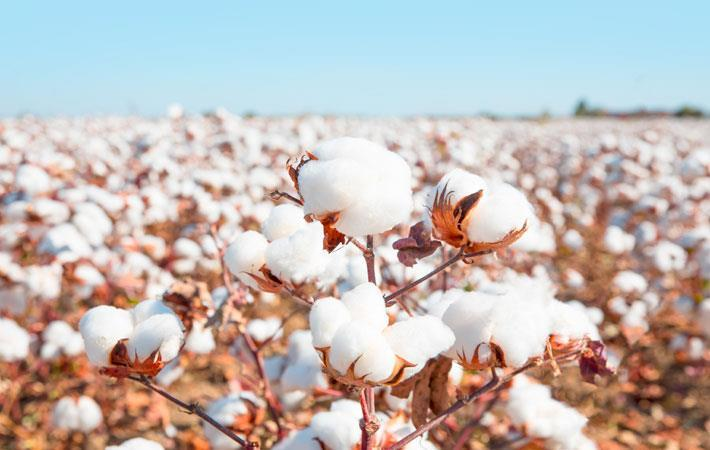 Indian cotton – Not cheap but reasonable enough to the Global Markets
