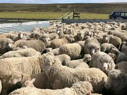 50% of Unsold Wool Purchased by Falklands Govt to Support Farmers