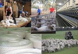Curbs on exports to China may cripple Oz wool industry.