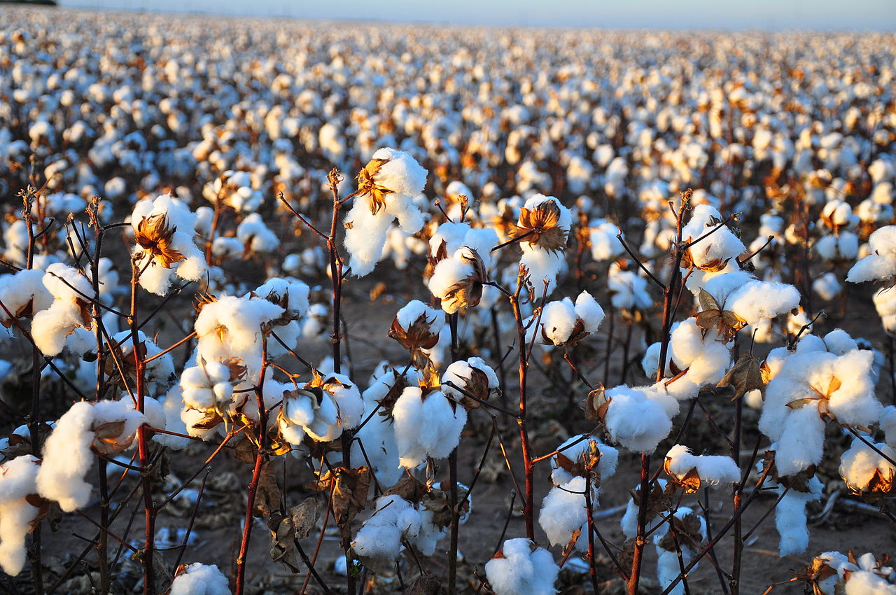 Cotton Imports From India Are Being Urged By Traders