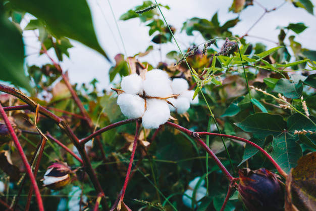 Cotton Creation Assessed To Be Lower At 360 lakh Bunches