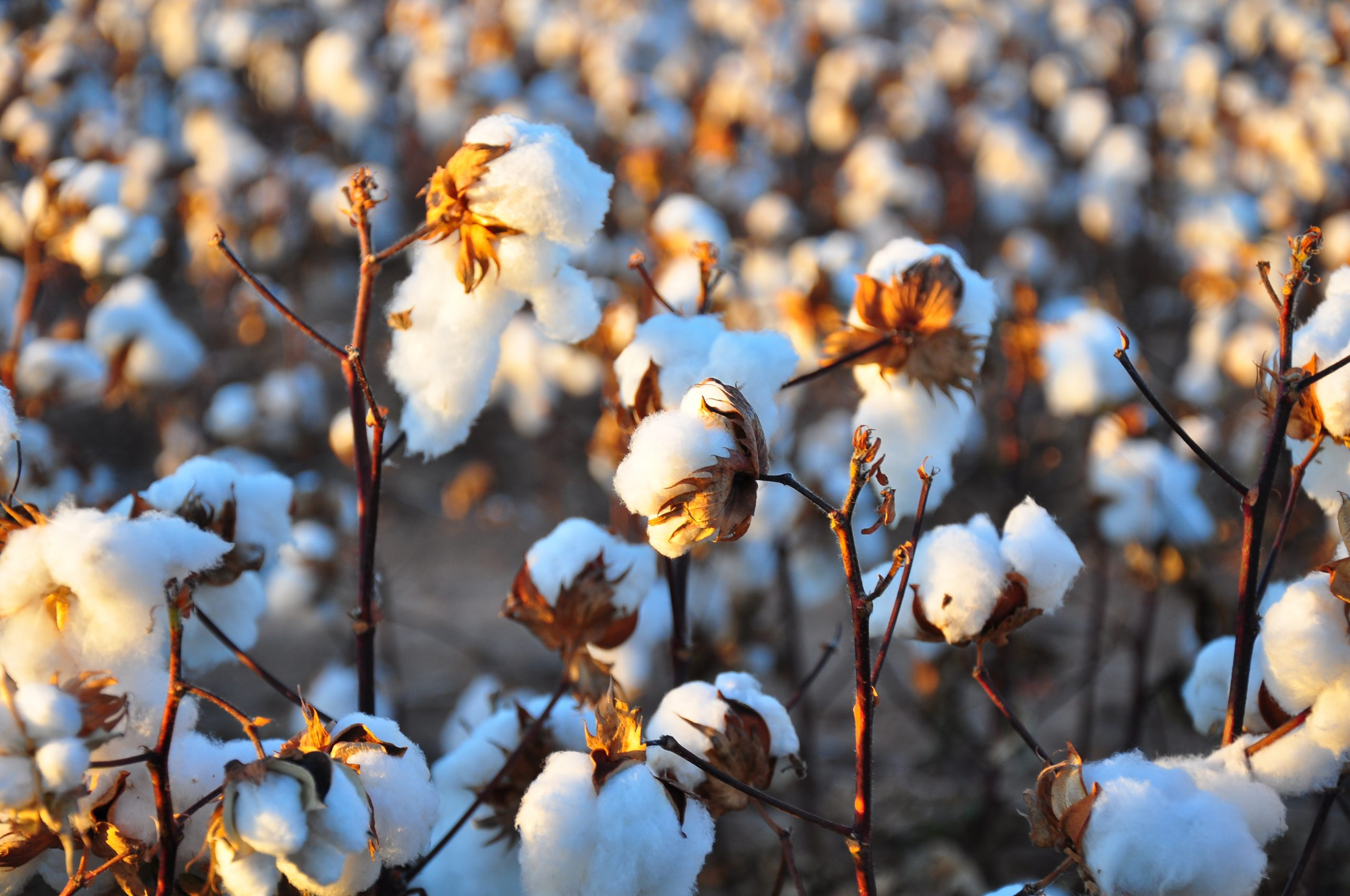 Cotton sowing has been delayed, with only 20% of the crop sown in Punjab