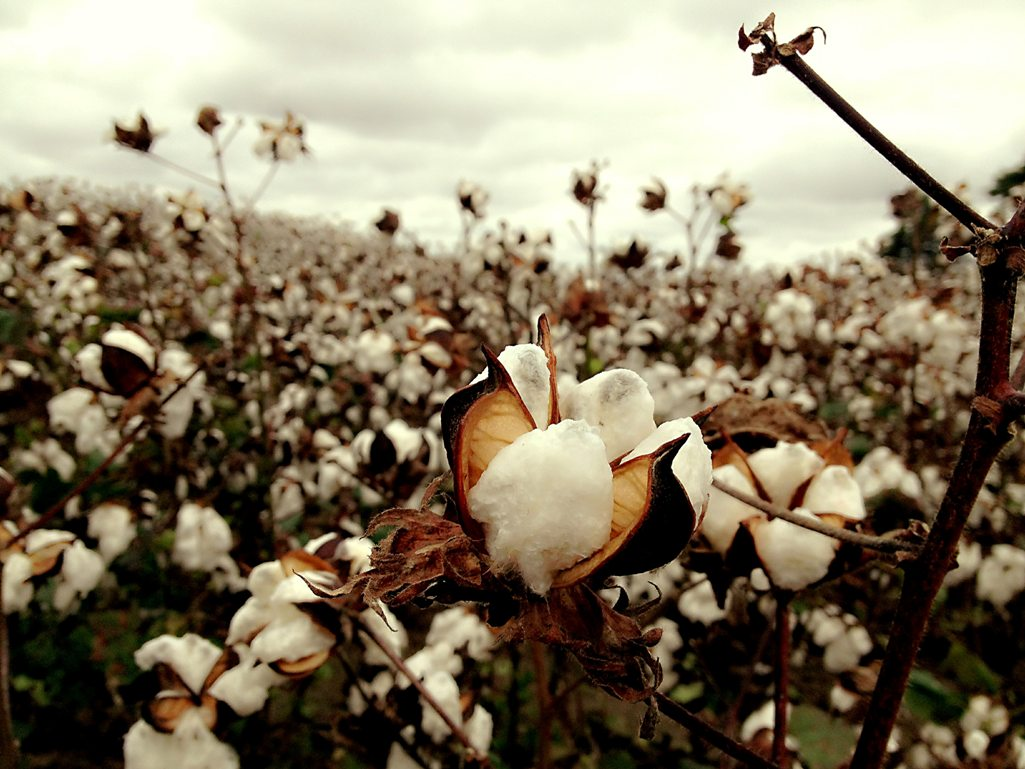 Organic cotton : Need of the hour