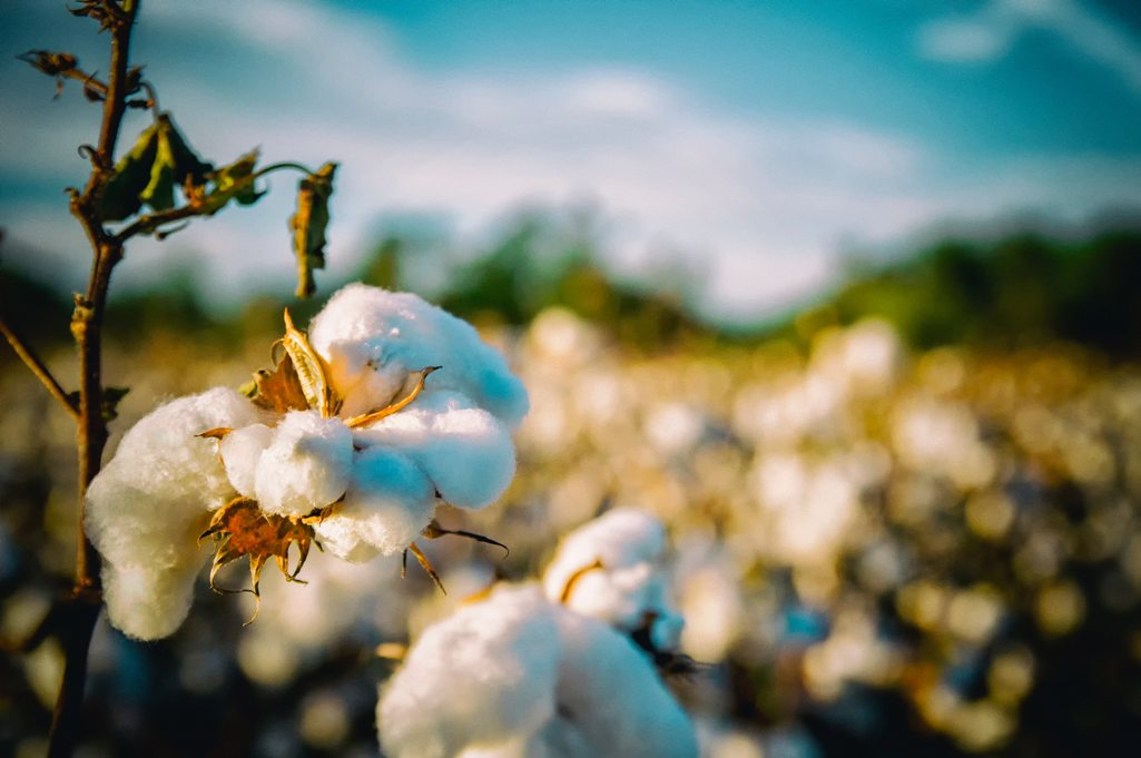 The training history and variety in  Properties of cotton.