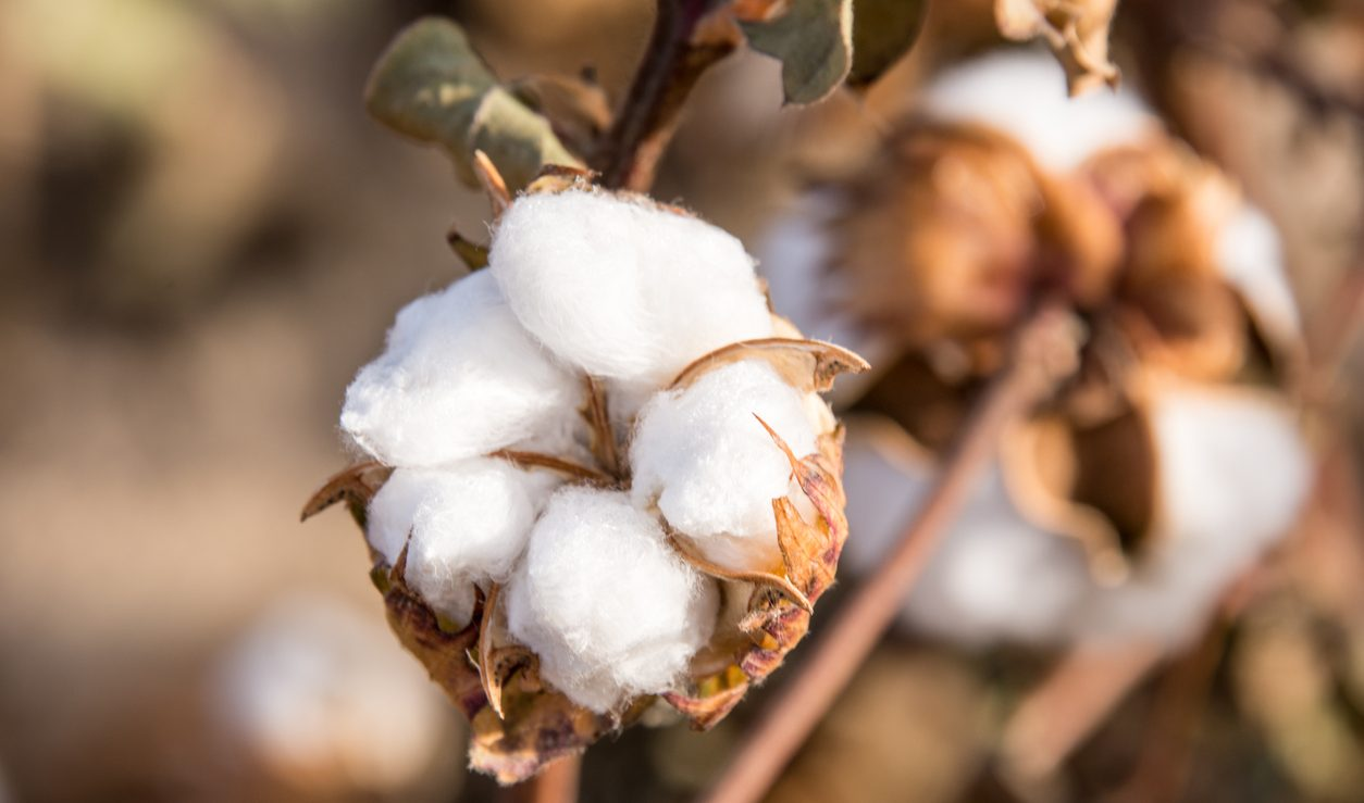 CAI PEGS DOWN ITS COTTON CROP ESTIMATE FOR 2020-21 SEASON BY 4 LAKH BALES TO 356 LAKH BALES