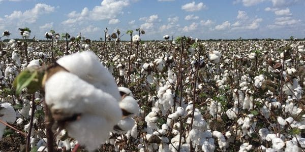 During Vaanakalam, Telangana plans to cultivate cotton on 75 lakh acres
