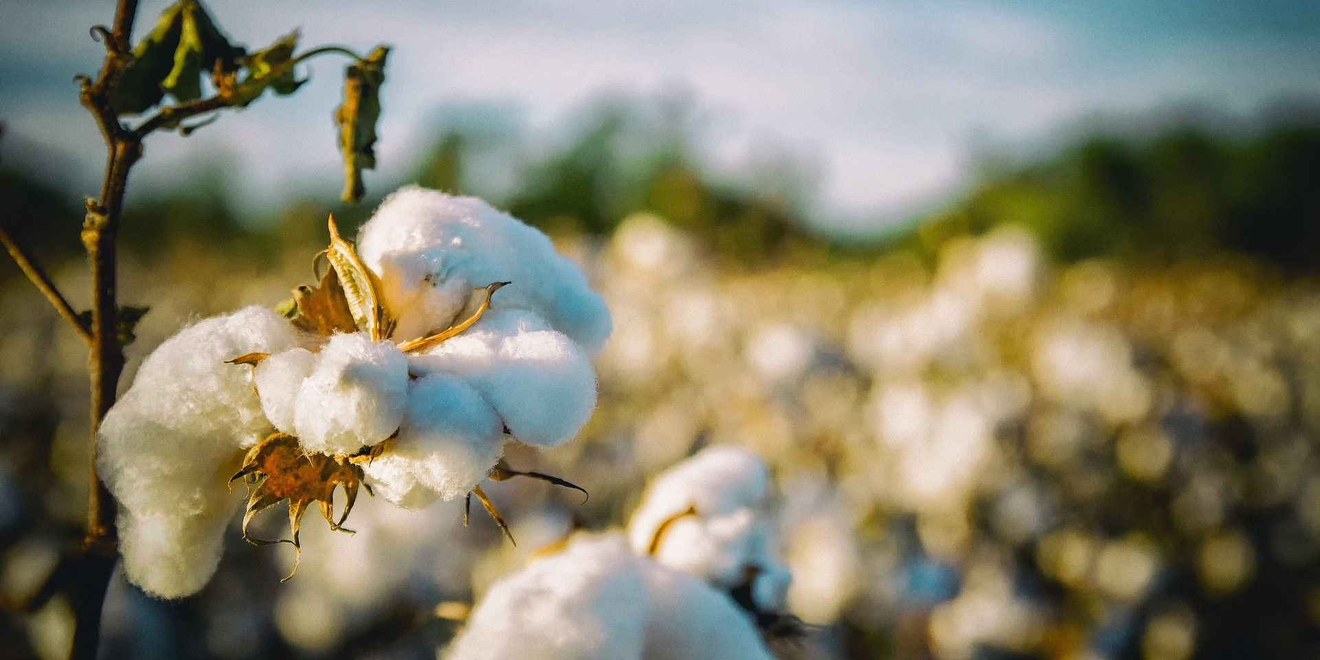Govt Plans to Boost Cotton Cultivators to Expand Creation