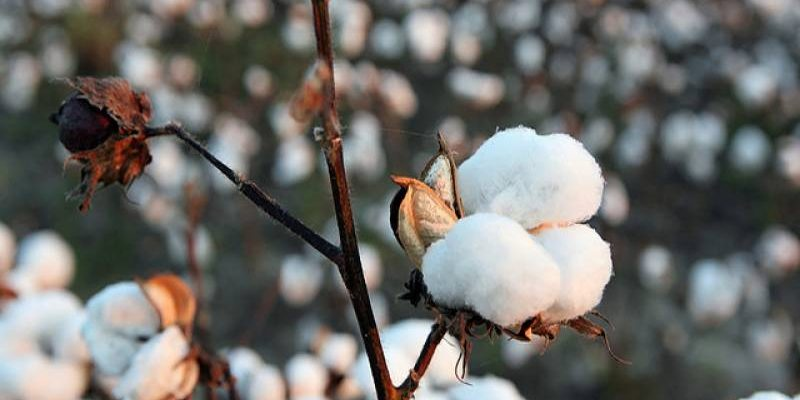 Pakistan is expected to produce 5.3 million bales of cotton in 2021-22