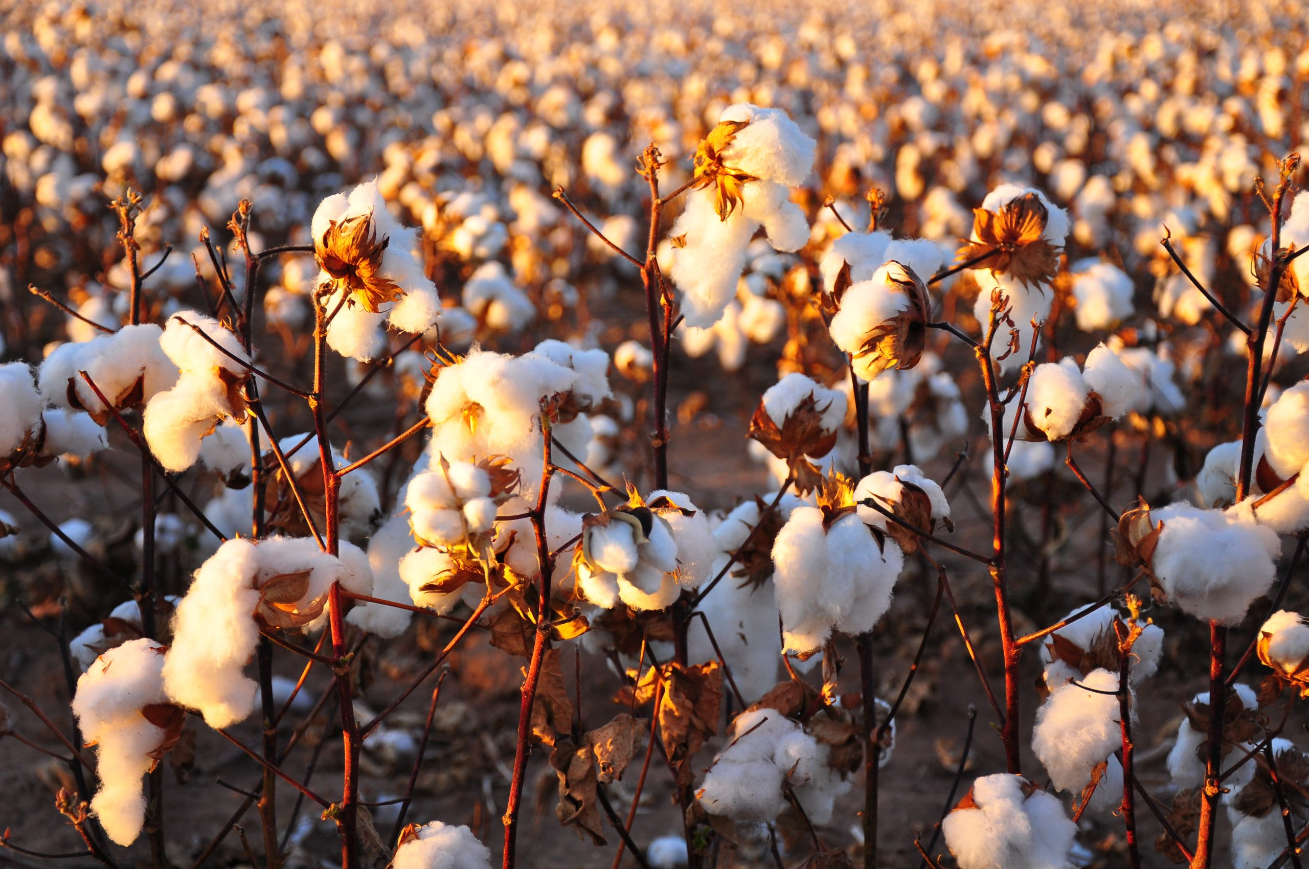 The CBN Will Assist in the Cultivation of 80,000 Hectares of Cotton