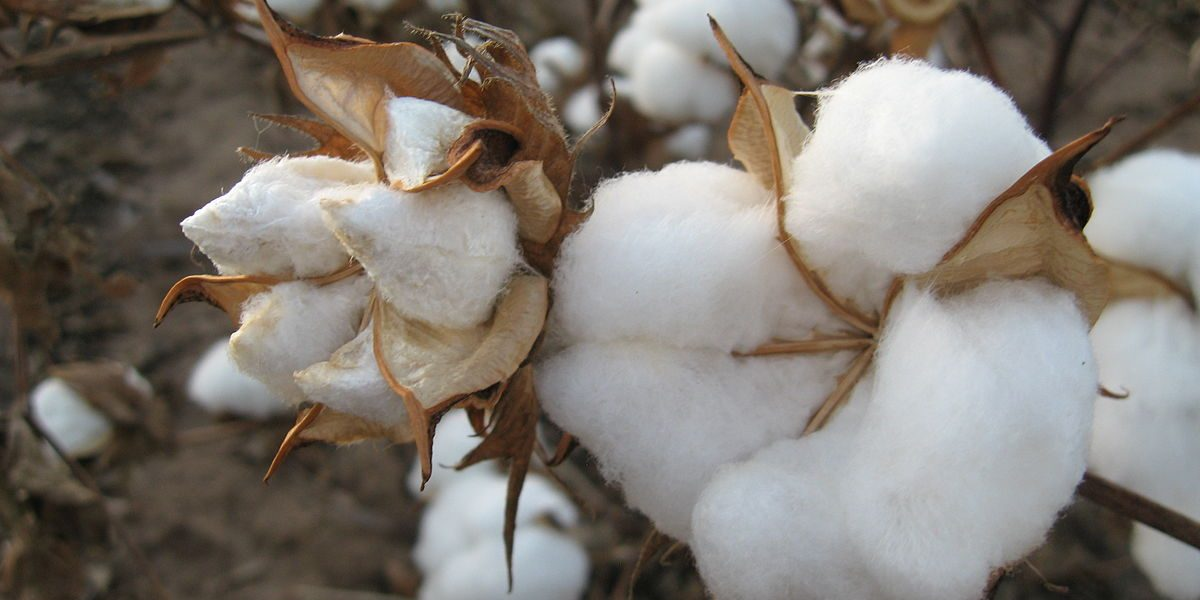 Cotton growers owe the government $1,5 billion
