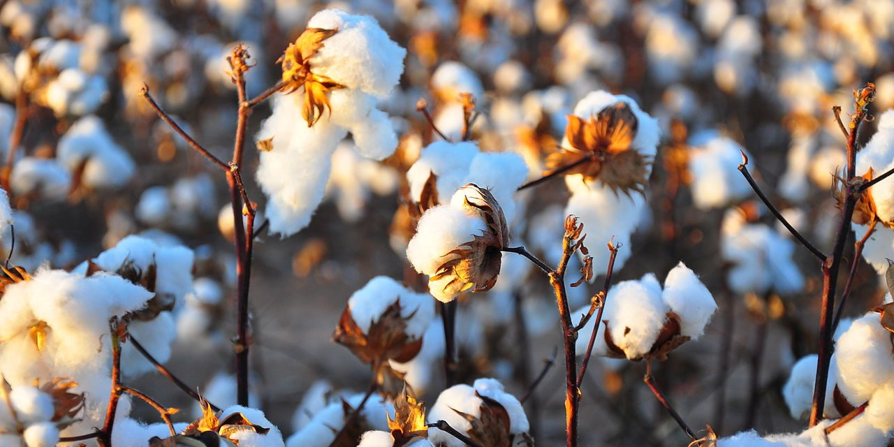 Cotton imports increased by 44% in 11MFY21