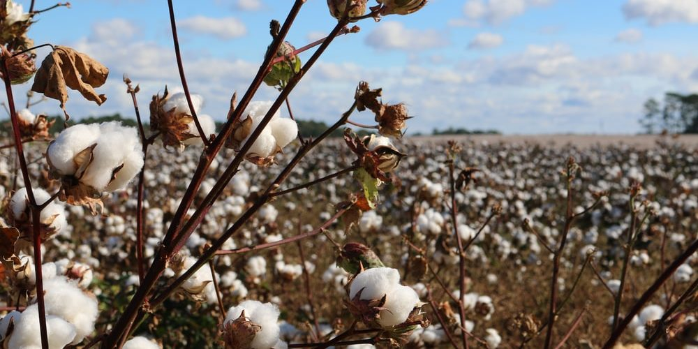 SIGNIFICANT GROWTH IN COTTON EXPORTS