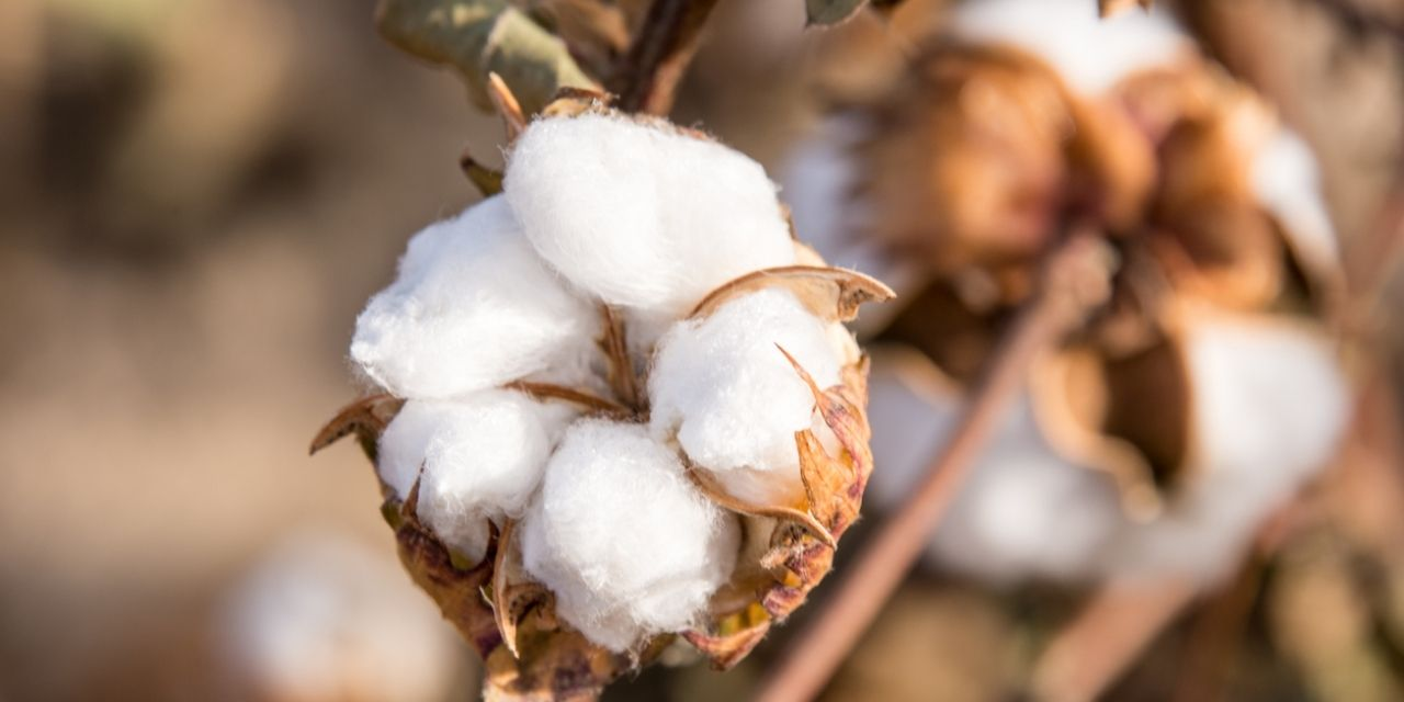 Cotton consumption in Vietnam will set a new high of 7.3 million bales, according to the USDA